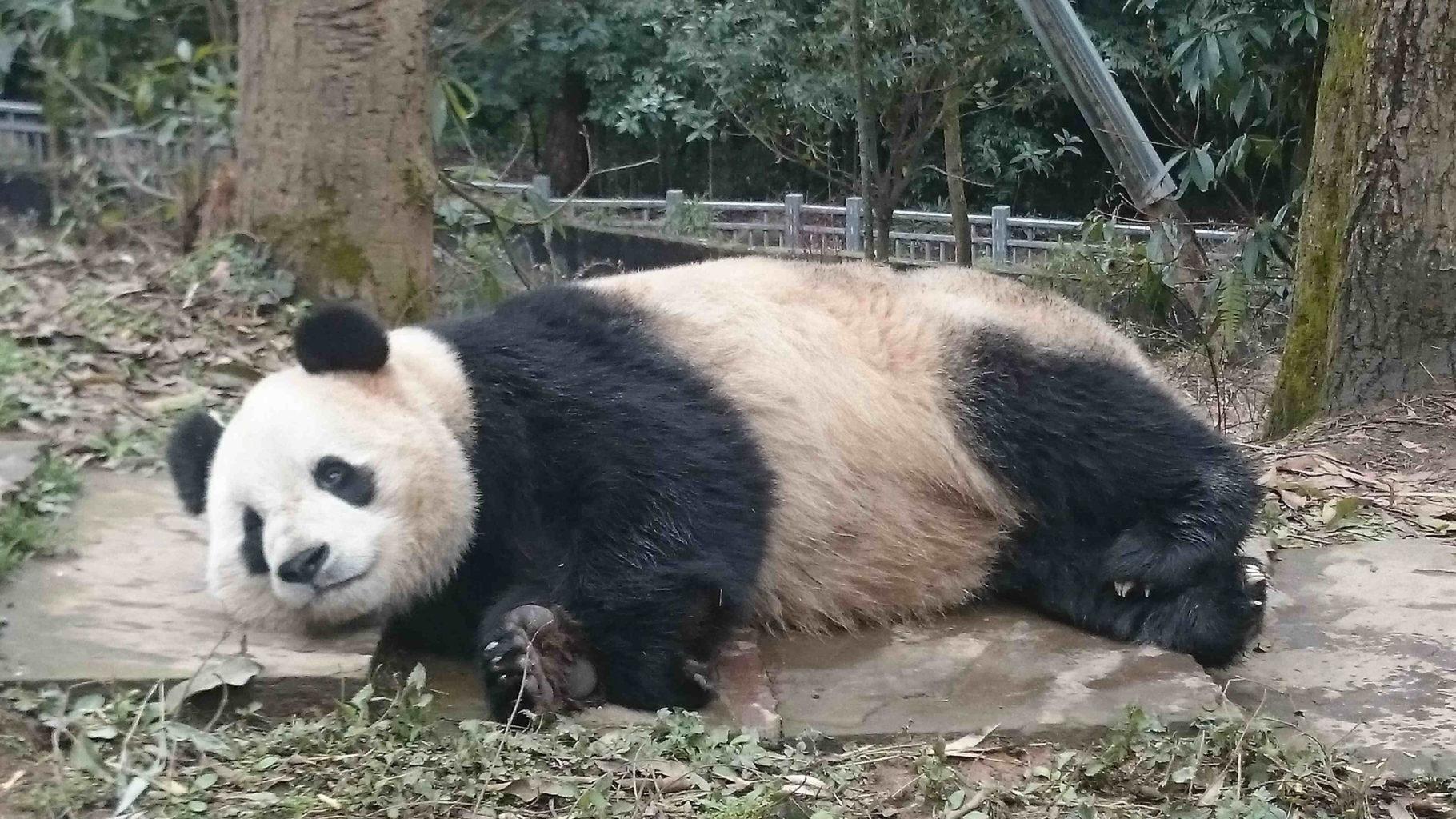 Наш волонтер в заповеднике гигантских панд!